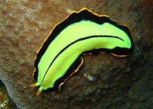 szimmetria platyhelminthes papilloma növekedés az uvulán