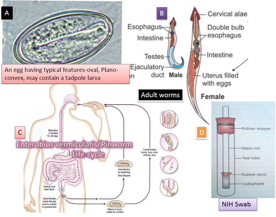 enterobius vermicularis evolúciós forma