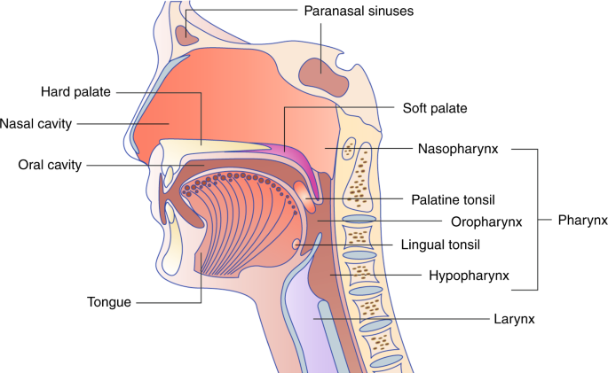 Papillomaviridae kezelés, A humán papillomavírus és a szájüregi daganatok
