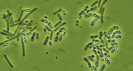 transzgenikus baktérium toxin bacillus thuringiensis fájdalom és szemölcs égése