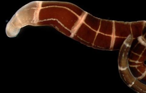pinworm földrajzi eloszlása)