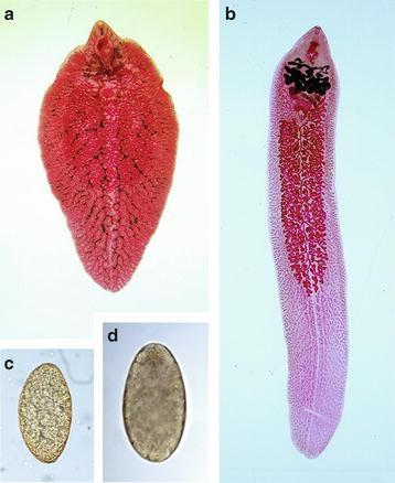 a fascioliosis invazív szakasza paraziták permetezéses kezelése