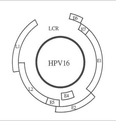 papillomavírusok és rák