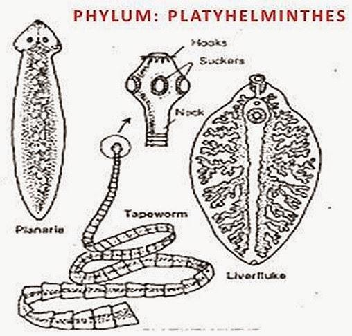 A platyhelminthes testterve. Giardiasis cikk Testterv típusú platyhelminthes