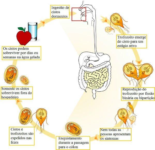 A giardia fogyást okozhat. A giardiasis vérszegénységet okozhat