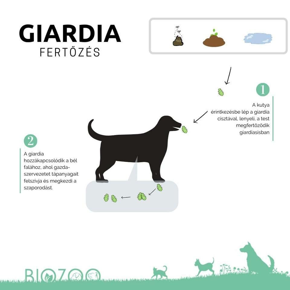 giardia ember kutya