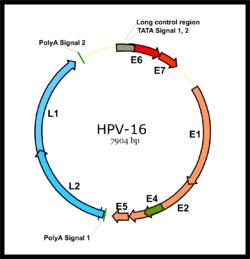 hpv potenciálisan onkogén