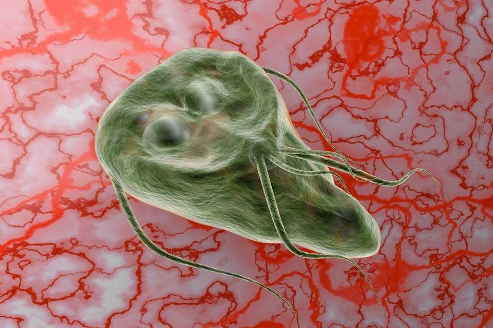 pasozyt giardia in kota