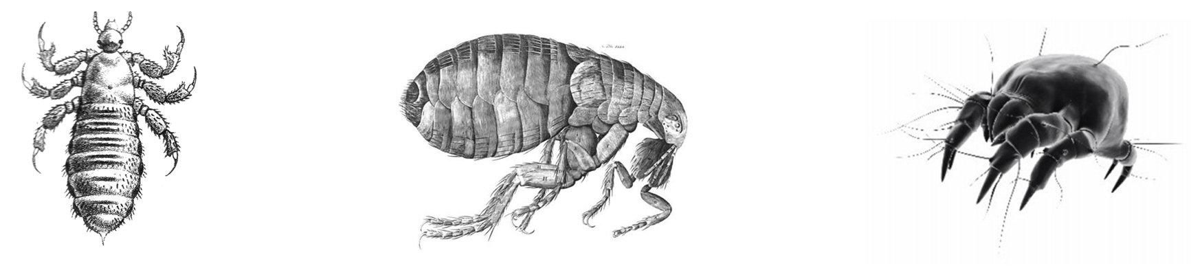 mamates tisztító paraziták