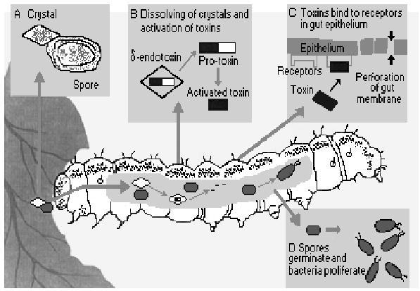 transzgenikus baktérium toxin bacillus thuringiensis a szájüregi klinika papillomatosis diagnózisa