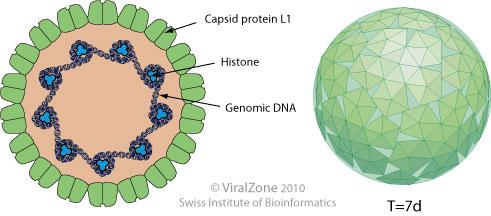 a humán papilloma vírus meghatározása)