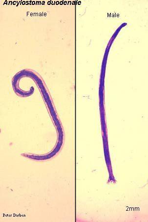 Nemathelminthes biológus x