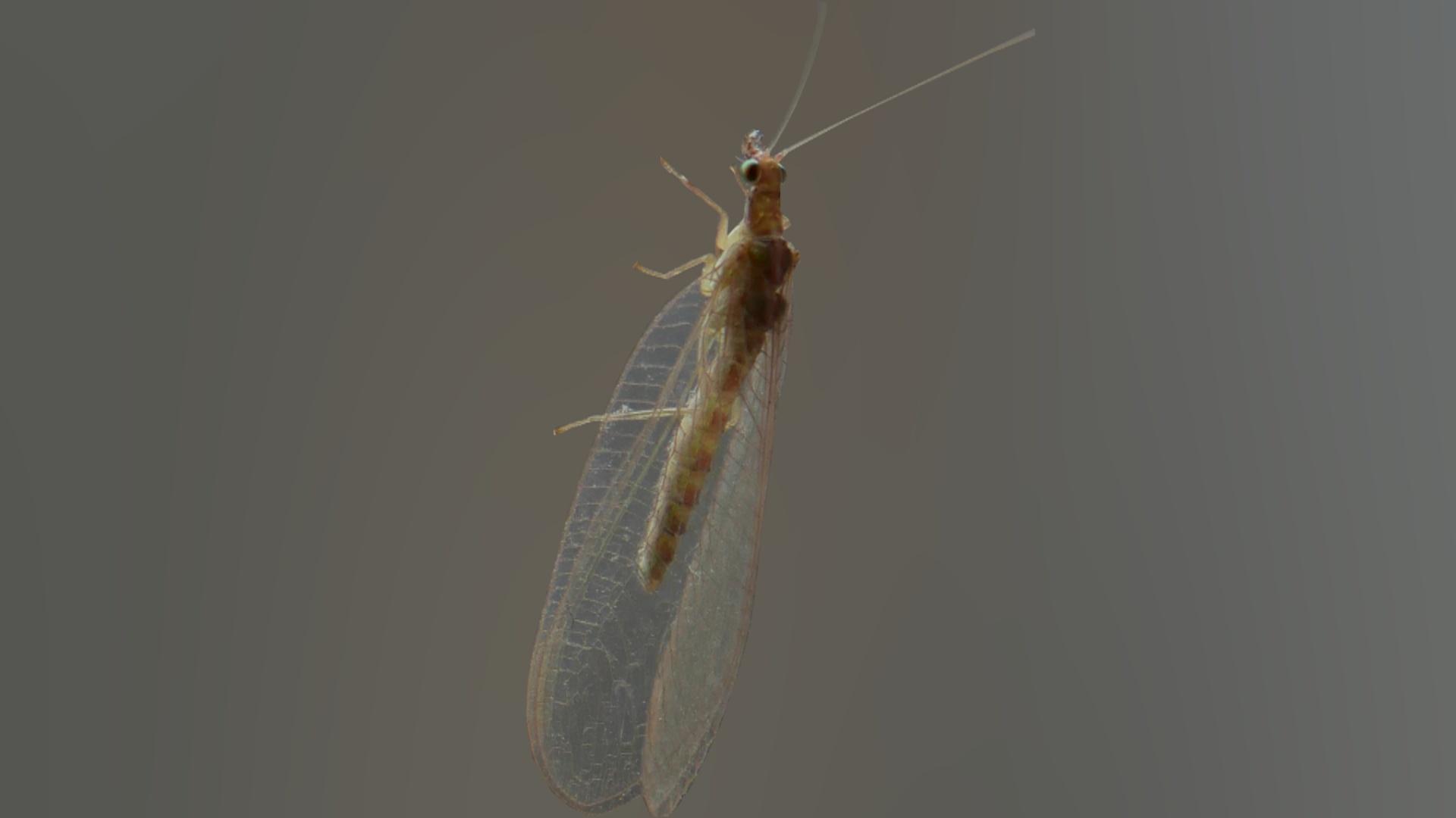 gubarev paraziták