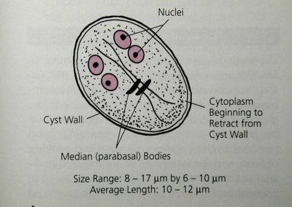 giardia lamblia képek a helminthiasis megelőzése gyermekeknél és felnőtteknél