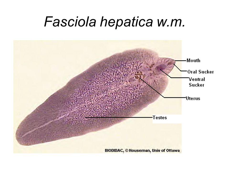 pinworms hatékony gyógyszerek