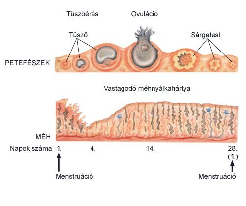 a pinwormok jellemző tulajdonságai gyógymód a pinwormokért felnőtteknél fórum