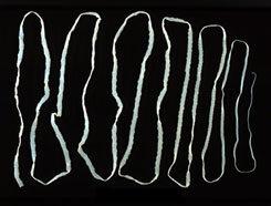 galandféreg parazita kezelés