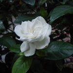 gardenia paraziták Megszabadultam a nagy szemölcsöktől