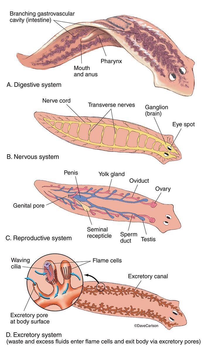 Platyhelminthes anatómia, Tartalomjegyzék