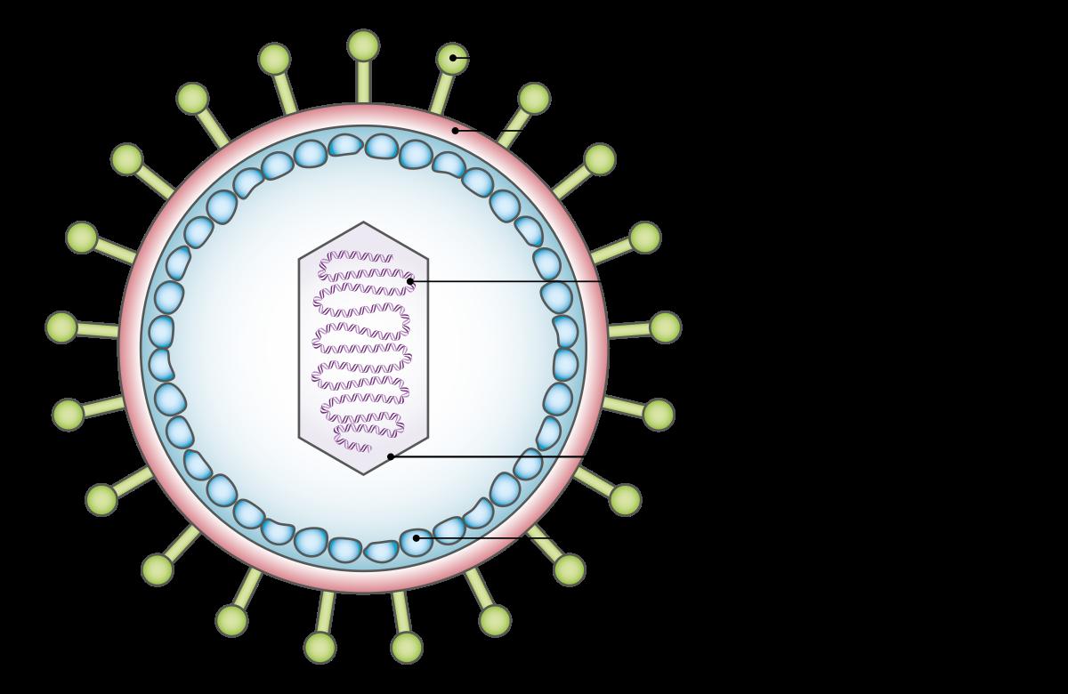 A humán papillómavírus és a rák - Mutáció.hu, A hpv vírus szemölcsöket okoz