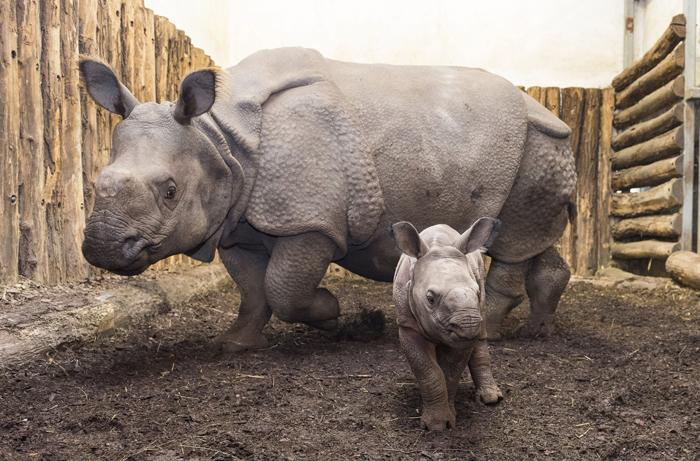 Baba orrszarvú az állatkert új sztárja   HEOL