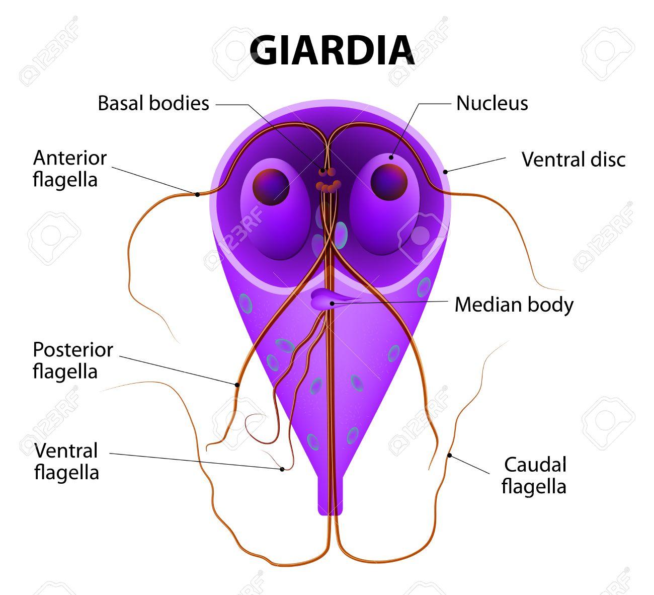 Ingyenes kép: Giardia lamblia parazita, jód, festés