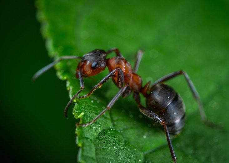 hangya hangyák giardiasisos foltok a testen