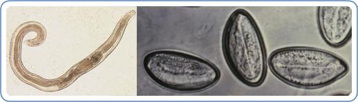 enterobius vermicularis szaporodás férgek meghalnak hőmérsékleten